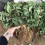 山東四季草莓草莓苗每日報價