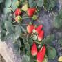 寶交草莓苗價格分析