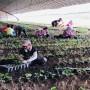 山东草莓秧苗基地