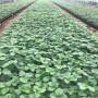 大棚書香草莓苗品種
