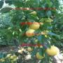 西梅來客李子樹苗、西梅法蘭西西梅樹苗價格列表