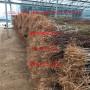 风味皇后李子树苗、美国黑李子树苗一株多少钱