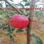 烟富6号苹果苗批发、烟富6号苹果苗基地