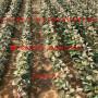 阿克苏苹果树苗2公分购买价格、阿克苏苹果树苗价格