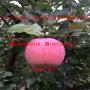 矮化中间砧苹果苗、出售矮化中间砧苹果苗每日价格