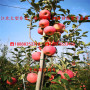 1年一公分粗hff33苹果树苗