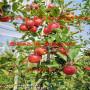 黑钻嘎啦苹果树苗近年联系电话、黑钻嘎啦苹果树苗批发基地