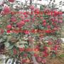 红宝石甜苹果苗、1公分红宝石甜苹果苗新型的种植模式