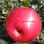 hff33苹果苗、5公分hff33苹果苗费用多少