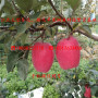 三年生3公分粗新西兰红玫瑰苹果树苗