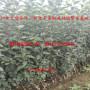 瑞雪苹果树苗2公分今年批发、瑞雪苹果树苗批发多少钱