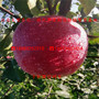 唐木甜苹果苗、近年唐木甜苹果苗今年批发