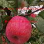 hff33苹果苗、1公分hff33苹果苗多少元