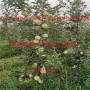 矮化苹果树苗2公分多少钱、矮化苹果树苗价格咨询