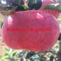 矮化苹果苗价格、矮化苹果苗价格及报价
