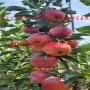 hff60苹果苗、2020年hff60苹果苗批发出售