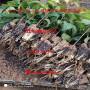 瑞德大樱桃苗出售、三年生瑞德大樱桃苗、瑞德大樱桃苗价格及价格