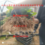 蜜浓樱桃树苗出售价格、苗圃批发蜜浓樱桃树苗、蜜浓樱桃树苗多少钱