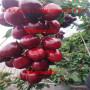 廣東惠州惠陽區矮化紅燈櫻桃苗、矮化紅燈櫻桃苗出售價格