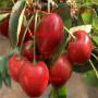 晓文一号大樱桃苗出售价格、常年直销晓文一号大樱桃苗、晓文一号大樱桃苗价格列表