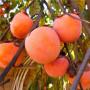 2021歡迎訪問##張家口宣化桃子樹苗適合南北方種植##實業集團
