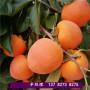 2021歡迎訪問##衡水武強桃子樹苗基地價格##股份集團