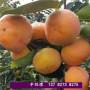 2021歡迎訪問##新鄉紅旗桃子樹苗批發價格##股份集團