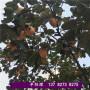 2021歡迎訪問##滁州瑯琊櫻桃樹苗種植技術##有限集團