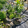 早熟L藍莓苗河北灤平價格采購,云雀藍莓苗
