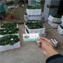 紅玉草莓苗直銷價格、河北興隆穴盤紅玉草莓苗