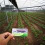 越佳草莓苗具體多少錢一棵、西藏薩嘎三葉一芯越佳草莓苗