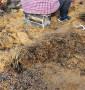 考特砧木山東威海苗圃推薦,價錢多少考特砧木