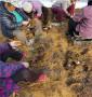 組培吉塞拉6號砧木河北石家莊銷售,品種樹苗