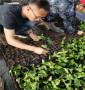 紅南陽櫻桃樹樹苗2021批發基地、8-5櫻桃苗豐產種植