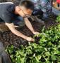 ZY—1砧木山西陽泉價格,成品樹苗