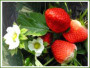 苗木资讯;福建省宁德草莓苗诚信供应商~欢迎你【股份@有限企业】