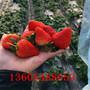 平顶山香蕉草莓苗定植时期要注意的关键点