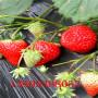 2018年新品種櫪木少女草莓苗大量批發