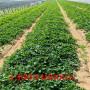 和平红袖添香草莓苗价格及报价