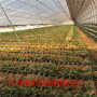 海東全明星草莓苗批發真實價格