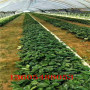 女峰草莓苗、女峰草莓苗指导报价