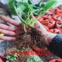 巫溪春香草莓苗前景如何