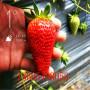 生长旺盛女峰草莓苗是哪里的