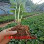 丽红草莓苗、丽红草莓苗哪里育苗