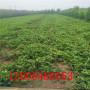法兰地草莓苗、法兰地草莓苗什么时间可以种