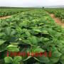 大棚草莓苗、大棚草莓苗多少錢一棵