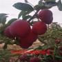 柱狀蘋果苗、柱狀蘋果苗如何詢價
