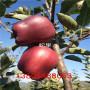 瑞陽蘋果苗、瑞陽蘋果苗哪個好