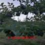 美國蛇果樹苗_美國蛇果樹苗出售價格