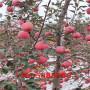 雞心果樹苗、雞心果樹苗果園主栽品種